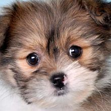 Pomeranian Shih Tzu mix. So cute!!