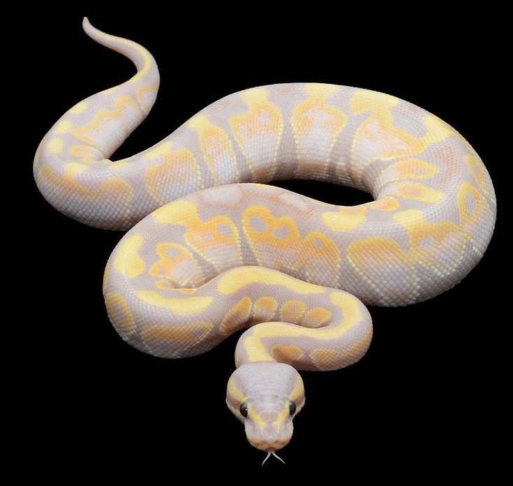 1000 ideas about python regius on pinterest snakes