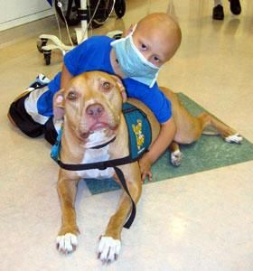 Pitbull as cancer therapy dog ♥ ☼