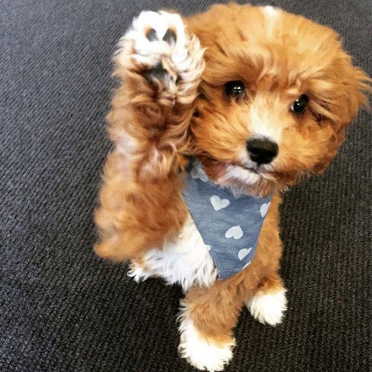 2015 Cavoodle Calendar Puppies & Cuteness Pinterest