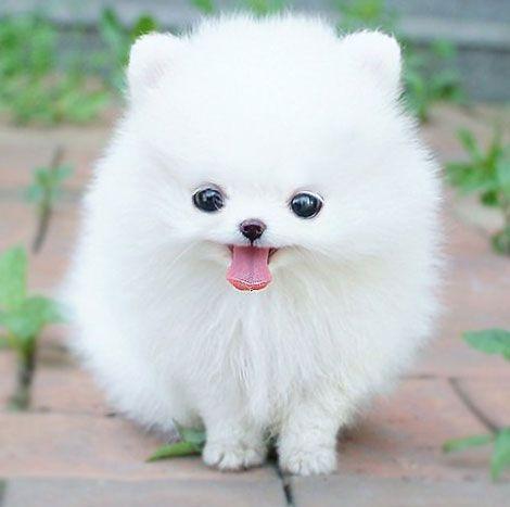 its so fluffyyyyyyyyTeacups Pomeranians, Ball, Cutest Dogs, Teacups Dogs, White Pomeranians, Funny Animal, Baby Pomeranian, Fluffy Puppies, Little Dogs