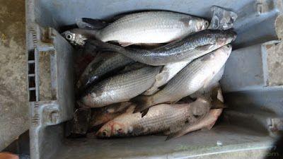 Эквадор Вальдивия пресноводная рыба на базаре