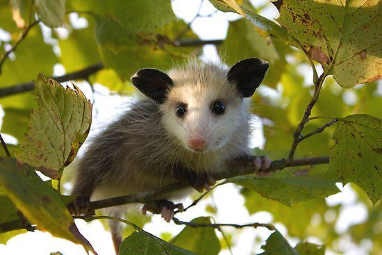 Common Myths About Opossums