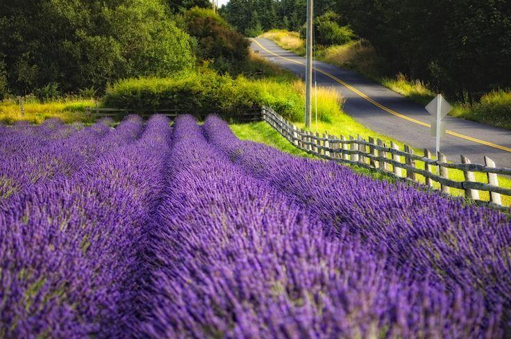 lavender field in Sonoma, CA
