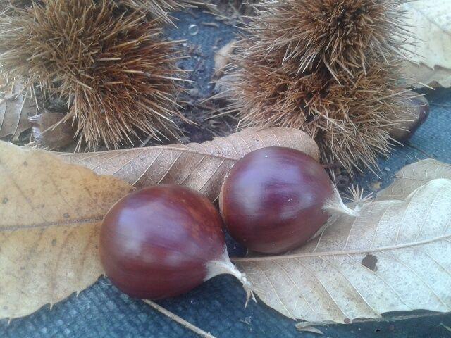 Castaño, árbol injertado en castanea sativa