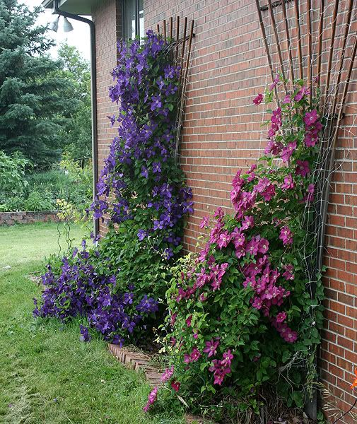 17 Best Images About Climbing Plants On Pinterest