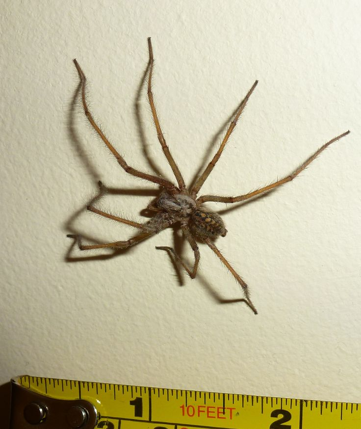 Species: Tegenaria sp.  Credit: Stephen Hopkins