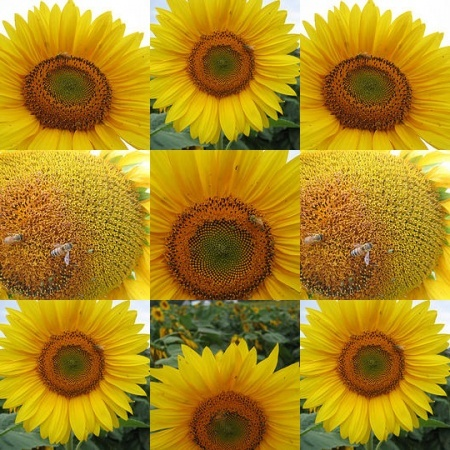 How to Grow Sunflowers in 9 Steps. Good pointers here - check