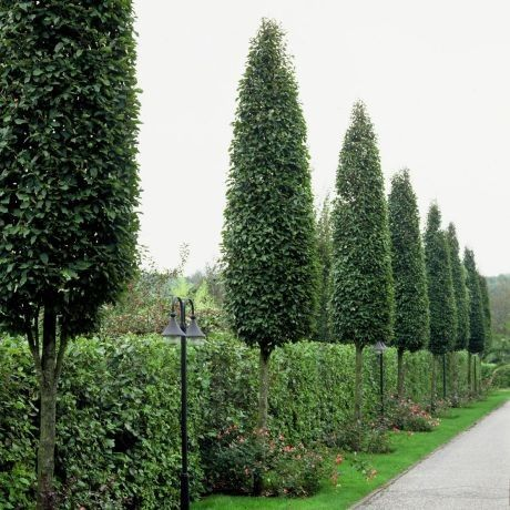 Frans Fontaine European Hornbeam. Excellent tree for narrow areas; no pruning required. Small fruits are not a problem. Leaves are dark green, becoming yellowish in the fall. Very hardy and generally insect and disease free. Growth rate is slow to medium.