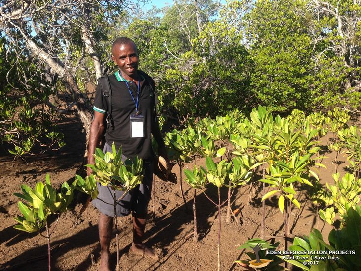 George, one of Eden's managers in Akalamboro, stands in a grove of mangroves planted closer to the mud flats and further from the canal. Because of their location, these mangroves have a stunted growth pattern, making them older than they look. Instead of being watered every day by the canal, these mangroves get watered a few times a month. Not to worry, though, this is a natural process and only demonstrates the uniqueness of Madagascar's natural environment. www.edenprojects.org