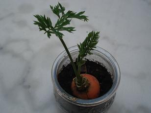 comment faire pousser ou repousser une carotte bouture semis pinterest comment et atelier. Black Bedroom Furniture Sets. Home Design Ideas