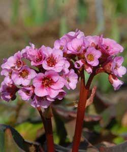 Bergenia Hybride 'Herbstblüte' - Bergenie