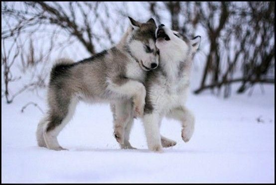Cute Overloads On With Images Malamute Puppies Puppies Cute Animals