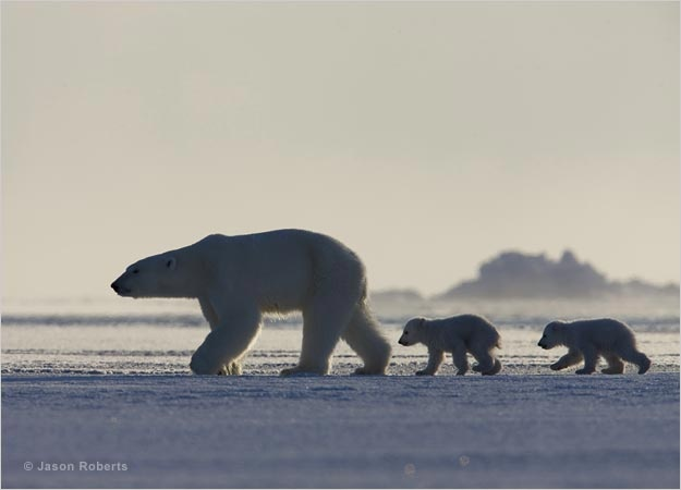 This female polar bear hasn't eaten for five months. She's lost half her body weight giving birth to and nursing her cubs in a snowy den high on a mountain slope. She now leads her cubs to the sea ice, where she will need to hunt ringed seals to keep herself and her family alive. Only one of her two cubs is likely to survive to adulthood; life on the sea ice is unforgivably tough.