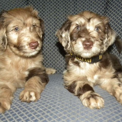 Male And Female Aussiedoodles Puppies Companion Dog Puppies