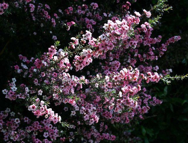40 mejores im genes de arbustos ornamentales en pinterest - Arbustos ornamentales de jardin ...