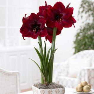 Red Pearl Amaryllis - American Meadows ships mid-Oct (Xmas blooming)