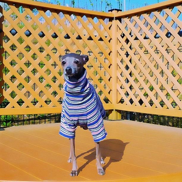 ~Italian Greyhound~ I love clothes on them!