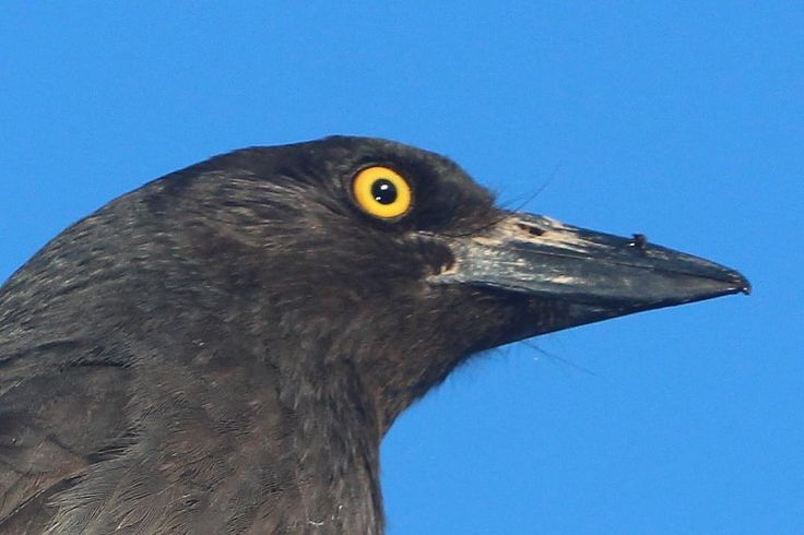 Currawong head note i did not have to choke any birds  to get there photos