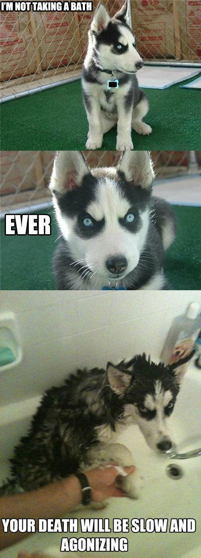 Bath story - husky does not like taking a bath: Husky Puppys, Take A Bath, Silly Dogs, Even, Humor, So Funny, Animal, Eye, Bath Time