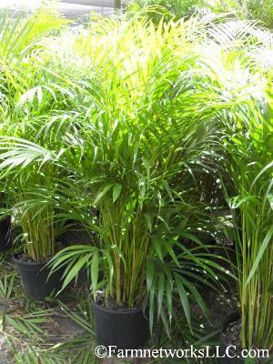 areca palm trees 15 gallon palms availability areca palm tree pinterest. Black Bedroom Furniture Sets. Home Design Ideas