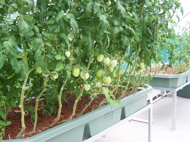 Tomatoes bed size aquaponic gardening aquaponics for Hydroponic grow bed