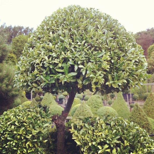 #ilex #cloud #ilexcrenata