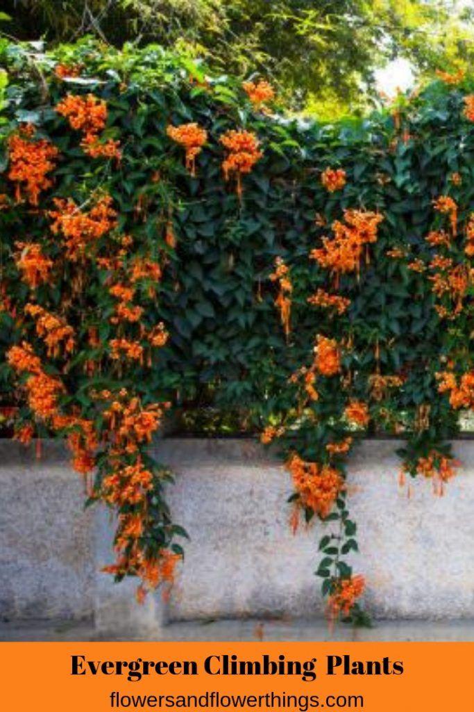 Valuable Evergreen Climbing Plants For Happy Gardeners Flowersandflowerthings Evergreen Climbing Plants Climbing Plants Fast Growing Evergreen Climbing