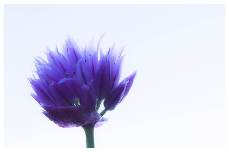 Purløg - Allium schoenoprasum - Lunifoto
