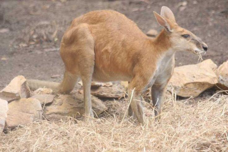 macropus antilopinus - Google Search
