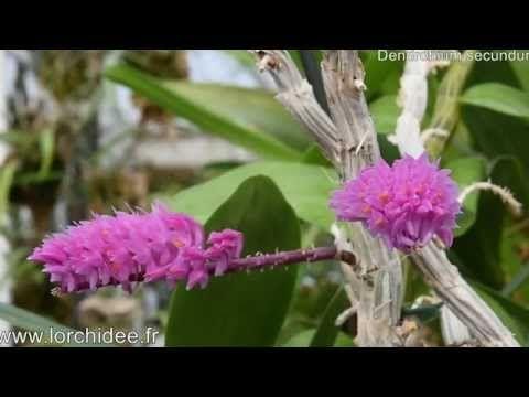 Dendrobium secundum - Orchidées Vacherot et Lecoufle - Lorchidee.fr