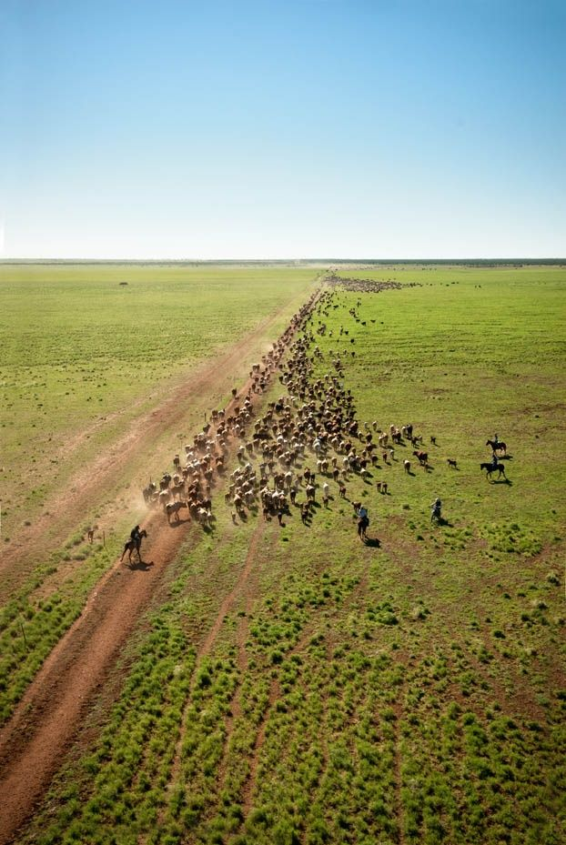 Cattle drive / In times of drought drovers take  herds of cattle on long cattle drives, often over hundreds of kilometres, to find feed. /  It looks as though they have found some in this shot.