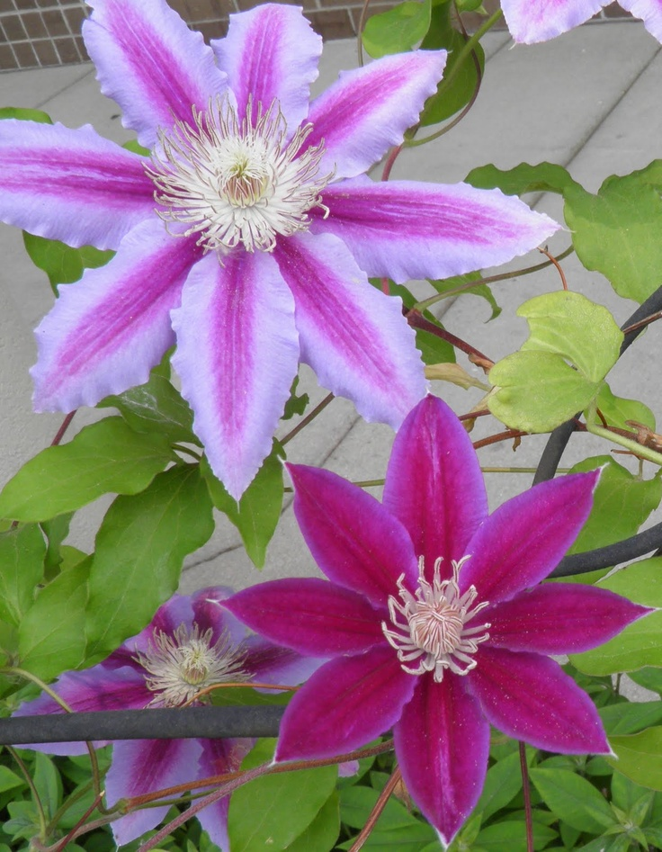 i love combining this nelly moser clematis with my rose. Black Bedroom Furniture Sets. Home Design Ideas