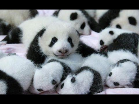 [FULL] Cute alert! Baby pandas make their debut in China
