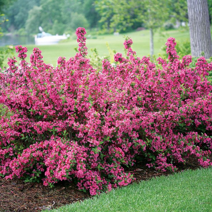 Weigela sonic bloom pink full sun plants plants and for Full sun landscaping plants