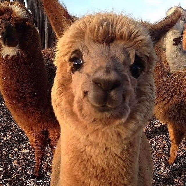 Alpacas Alpaca Alpaka Alpakas Llama Lama Funny Animal Pictures Cute Baby Animals Cute Animals
