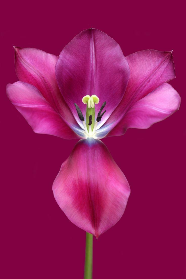 Music - Tulip 'Music'