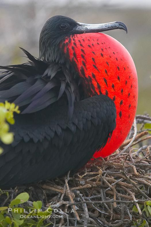 Magnificent frigatebird, adult male on nest, with throat pouch inflated, a courtship display to attract females. North Seymour Island, Galapagos Islands, Ecuador, Fregata magnificens, natural history stock photograph, photo id 16725