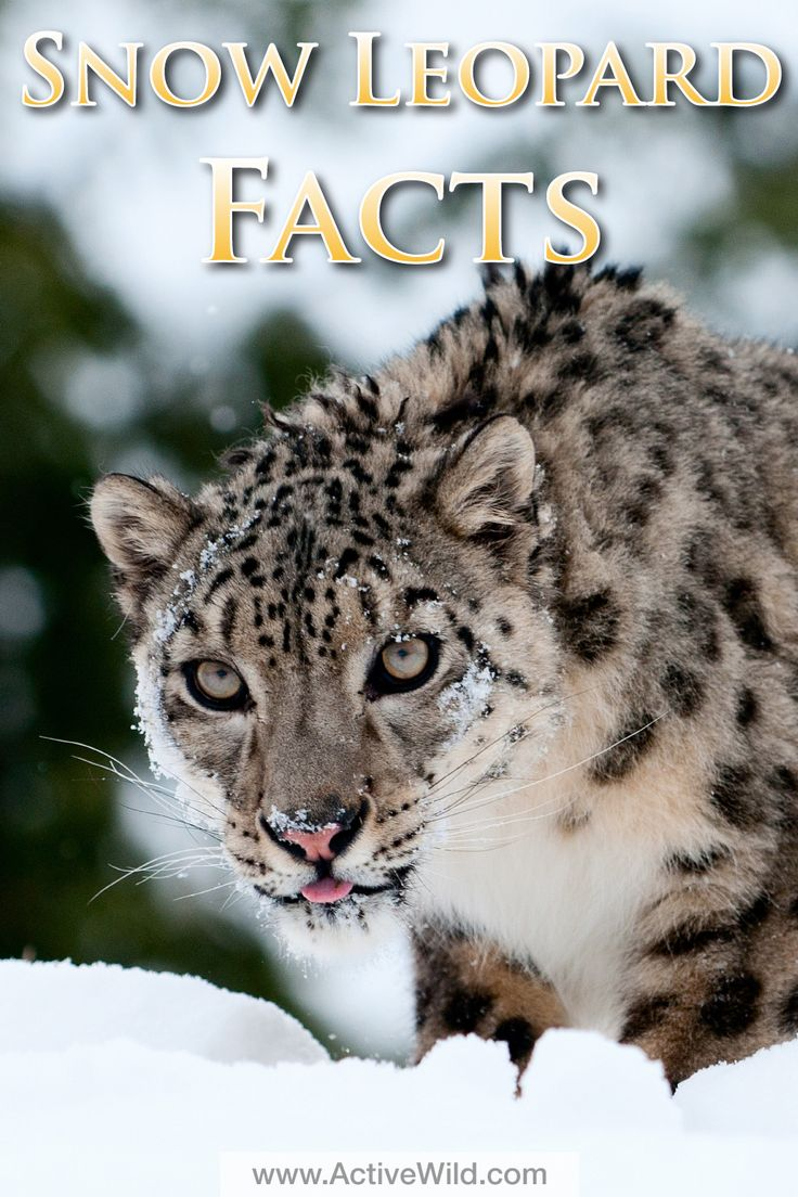 Snow leopard facts, pictures and in-depth information for kids. Learn about this beautiful endangered animal.