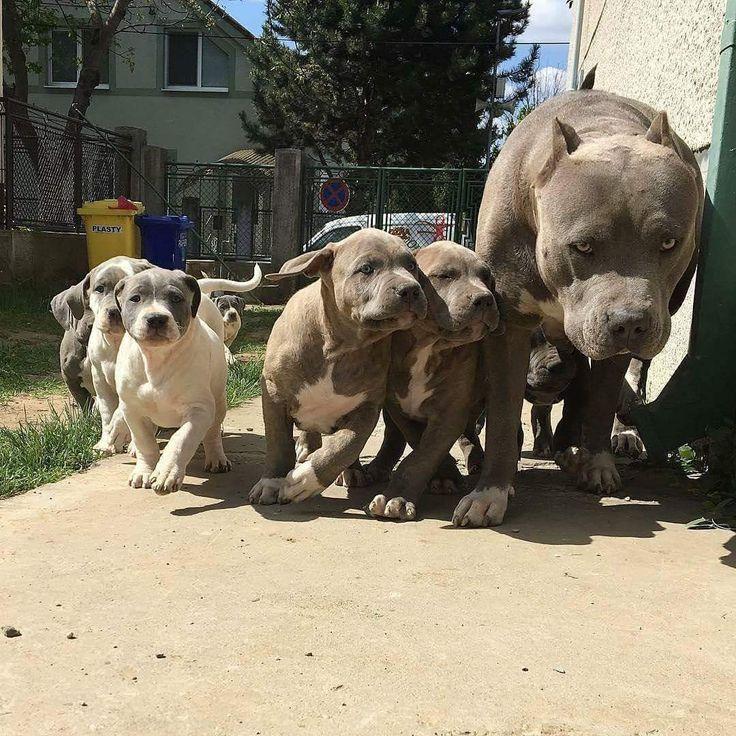 Pitbulls running after Mommy.
