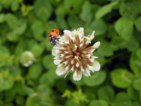 Ladybug on clover flower