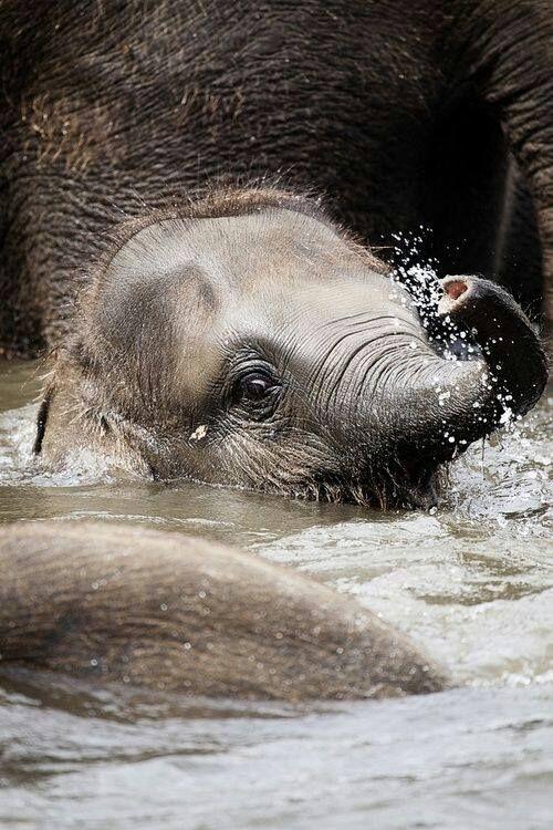 Baby elephant in water | OLIFANTS | Pinterest