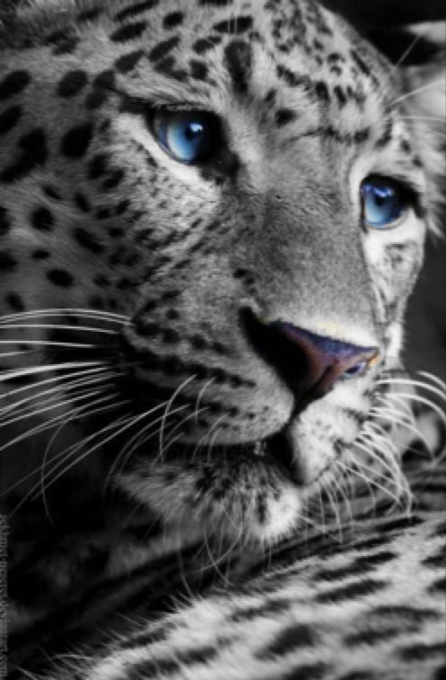 BEAUTIFUL! - Leopard with blue eyes