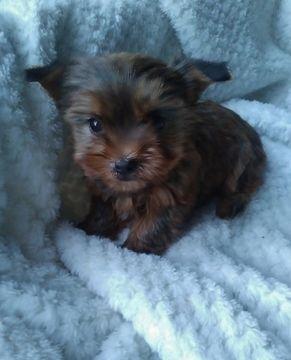 Shorkie Tzu-Yorkshire Terrier Mix puppy for sale in BELLEVILLE, PA. ADN-68679 on PuppyFinder.com Gender: Male. Age: 7 Weeks Old