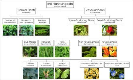 plant Classification Chart | ... BlogMontessori for Everyone Blog - The Optimization of Classification