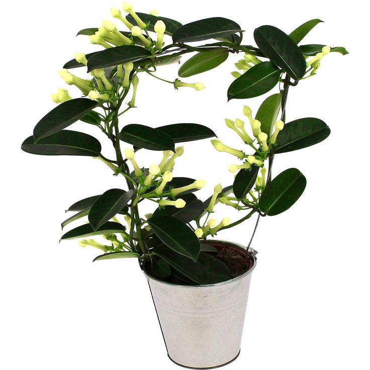 | STEPHANOTIS EN POT | Plante porte-bonheur originaire de Madagascar, le stéphanotis était la fleur préférée de Maryline Monroe. Ses fleurs blanches, en trompettes étoilées, dégagent une senteur subtile, mélange de jasmin et de lys. S'il n'est pas guidé sur un support, il se déploie en longues guirlandes. Il aime être près d'une fenêtre, à un endroit aéré et éclairé, à l'abri du soleil direct.