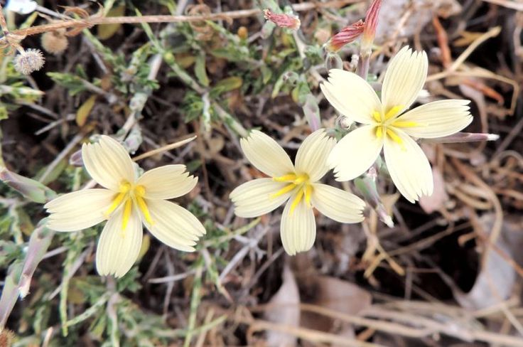 Lactuca alpestris - a summer endemic from the high mountains of Crete.