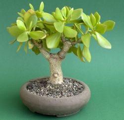 Бонсай из денежного дерева