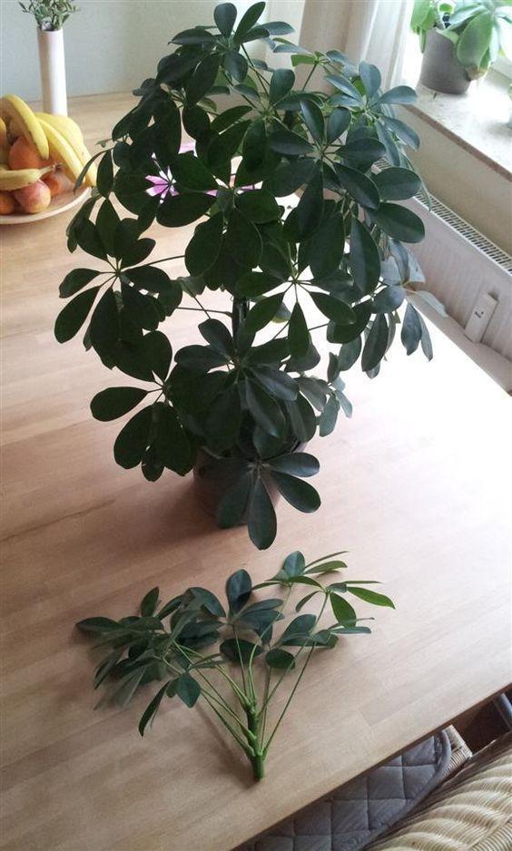 So kannst Du mit wenig Aufwand Deine Schefflera Arboricola vermehren. Komplette …