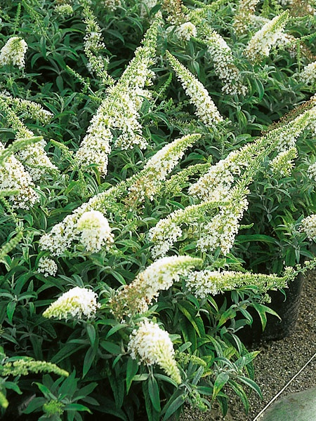 Buddleja davidii 'White Ball'